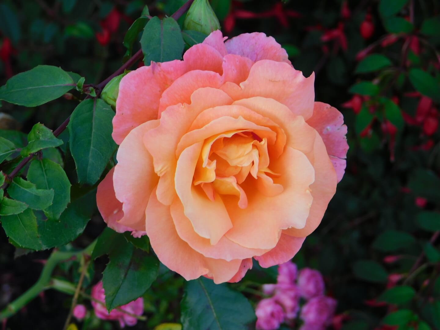 Photo of a light pink rose