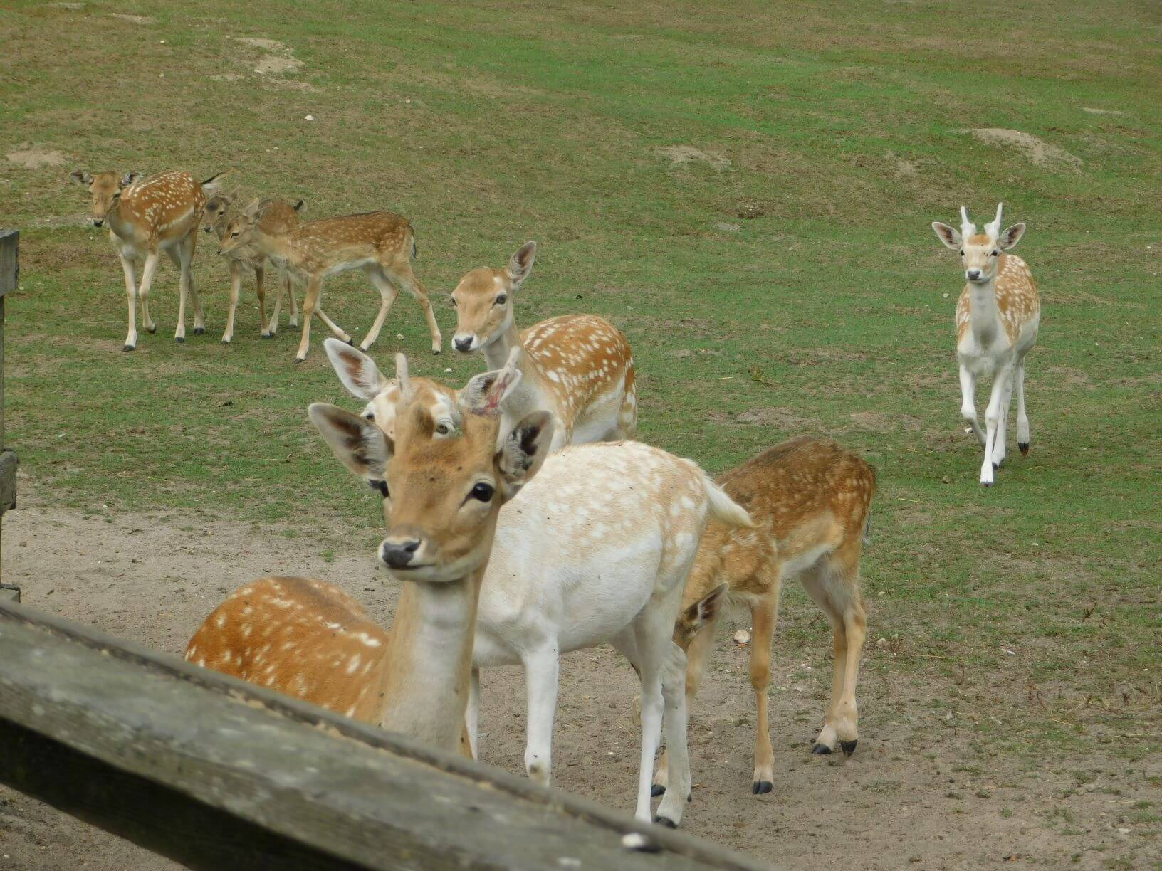 Fallow Deer at animal park Gettorf