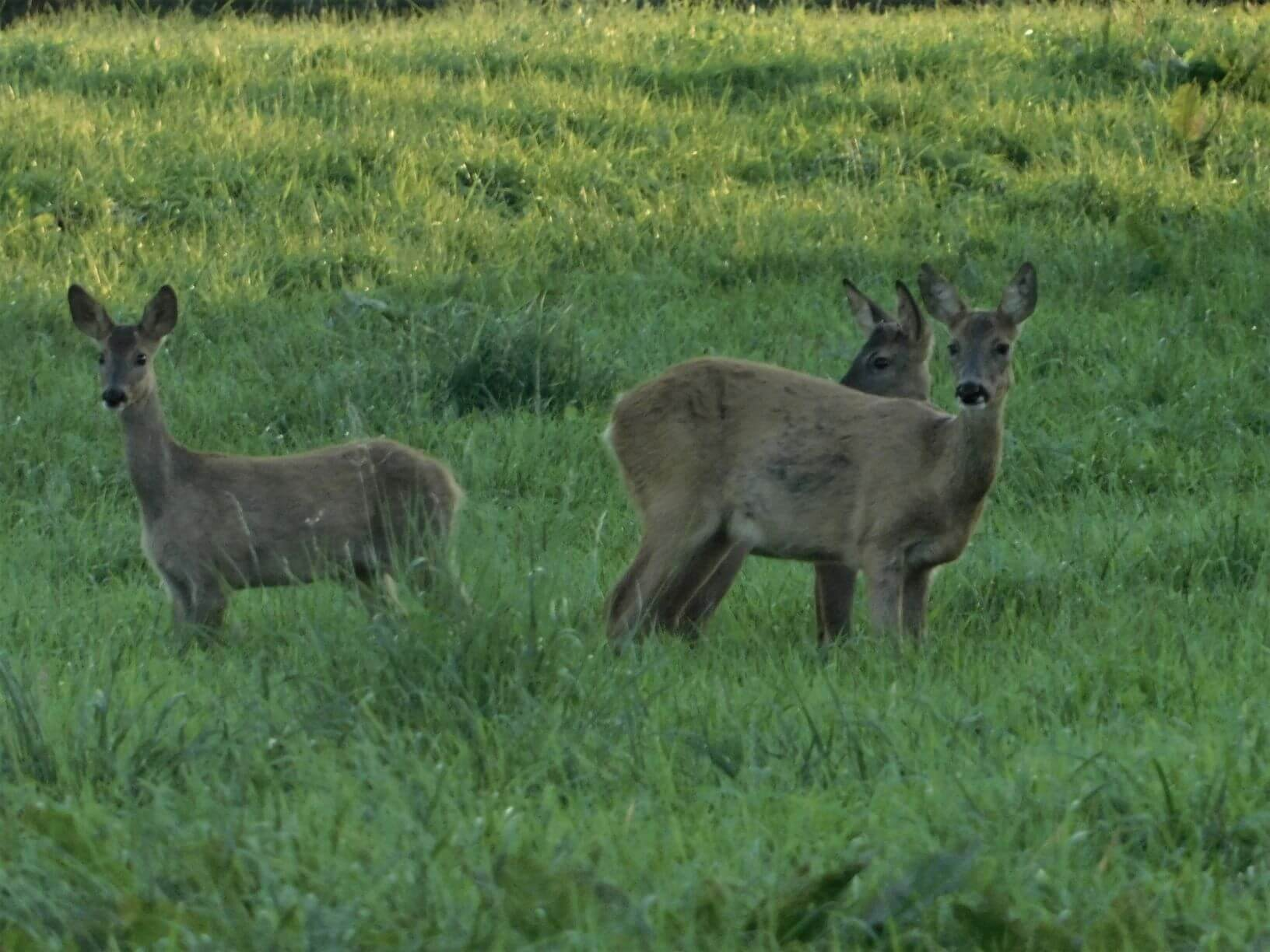 Photo of some Deer